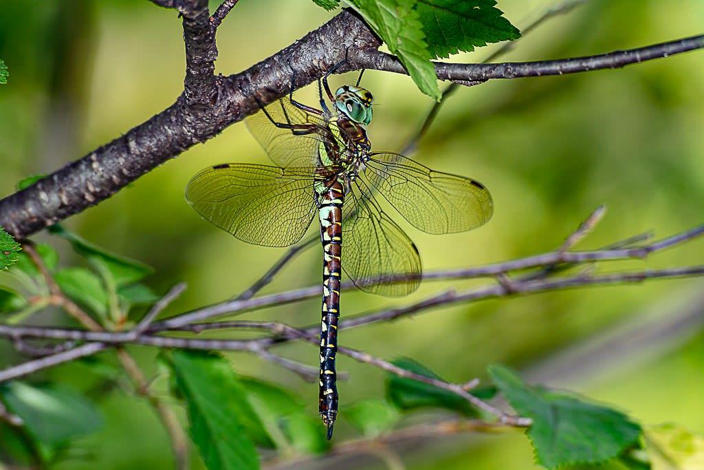 ルリボシヤンマ(緑眼タイプのメス)の写真