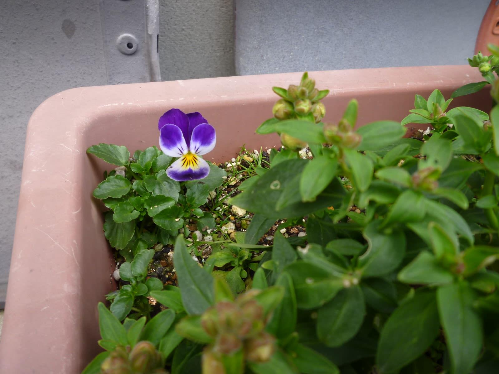 ど根性な花の画像