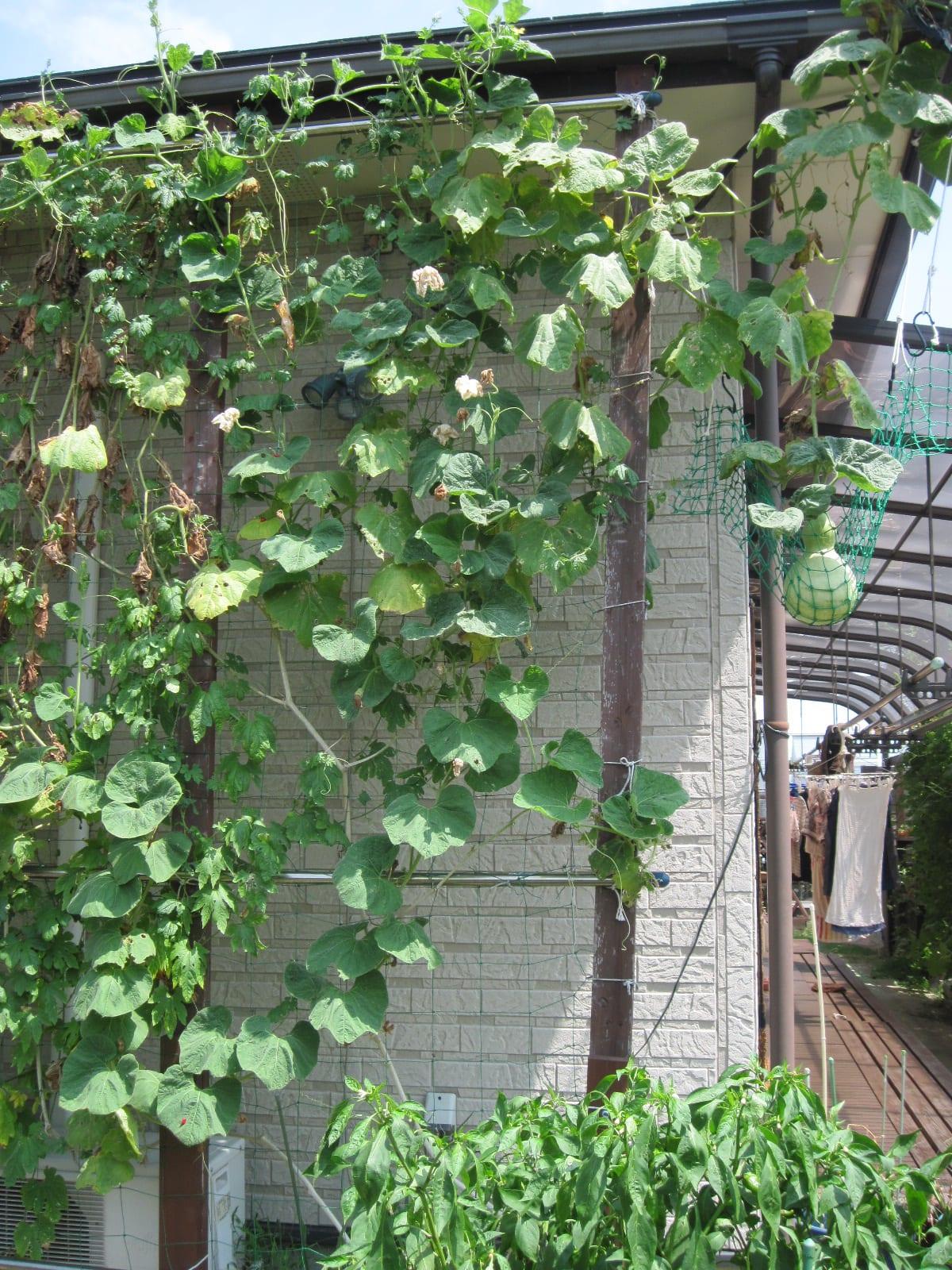 我が家の緑のカーテン・2013/08/30の画像