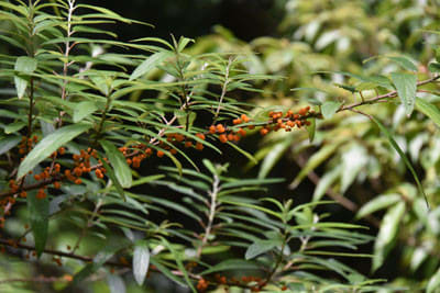 ヤナギイチゴの果実