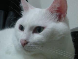 白猫ミルコ