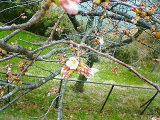 多摩湖の桜