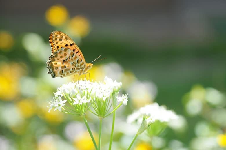 ツマグロヒョウモン♂とニラの花