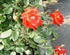 バラはこれからが最盛期です。