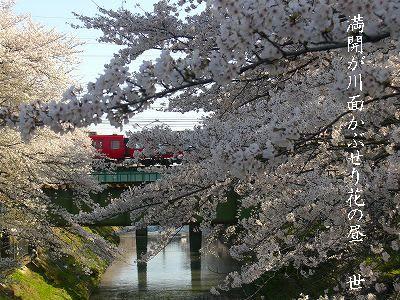 観桜2 百十郎桜(各務原市新境川堤) - ふらっと・ぶらっと抄