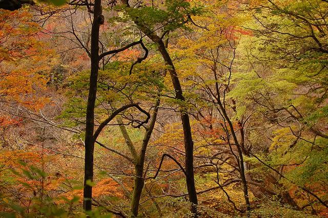 雑木林の黄葉