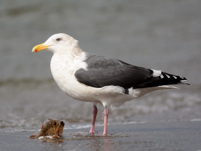 オオセグロカモメ 第4回冬羽 - 新潟の野鳥・フィールドノート
