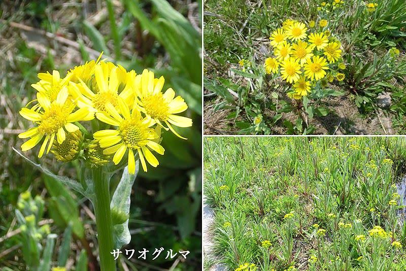 サワオグルマの花は - ブーケ