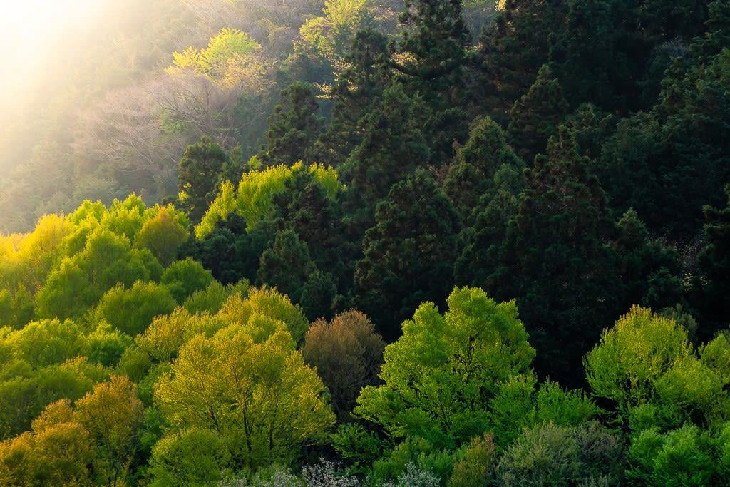 新緑のカツラ林の写真