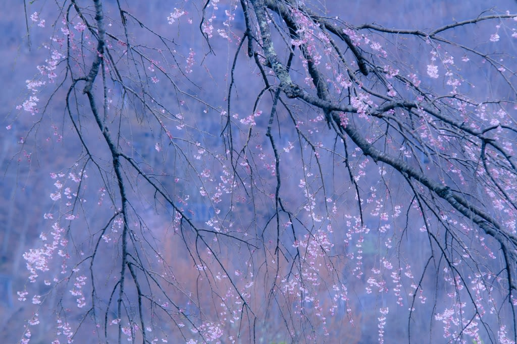 貞麟寺の枝垂桜