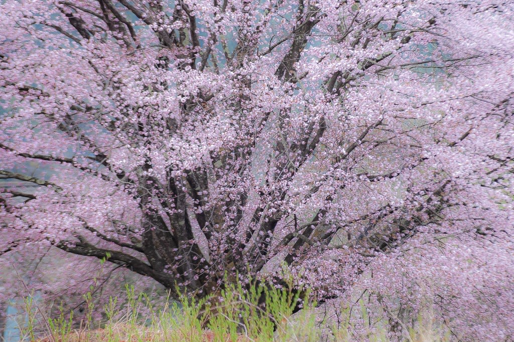 天王桜の写真