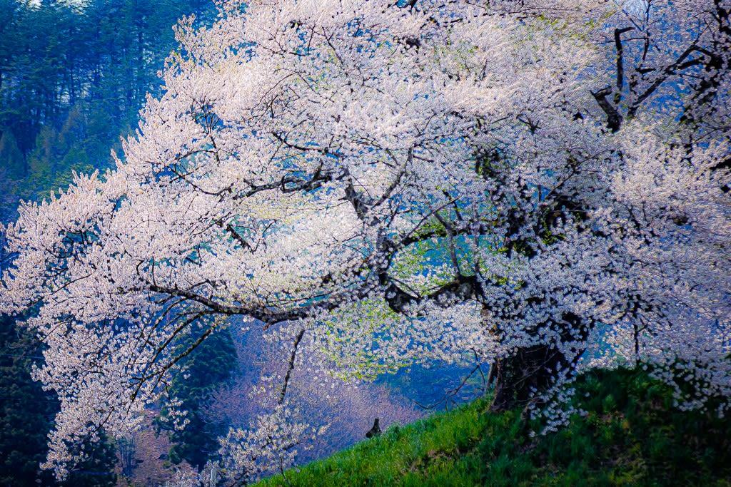 発地の彼岸桜の写真