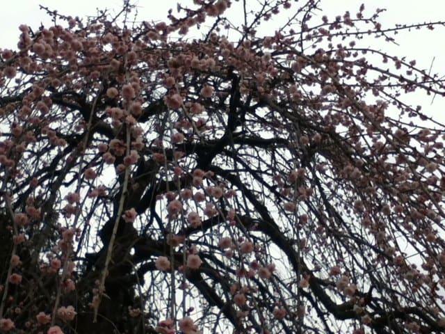 我が家の枝垂れ梅