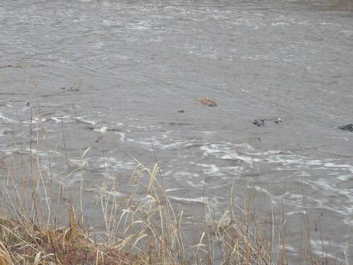 雨でやや増水した田川