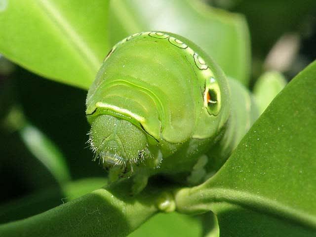 の 幼虫 アゲハチョウ