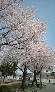 桜も咲きました