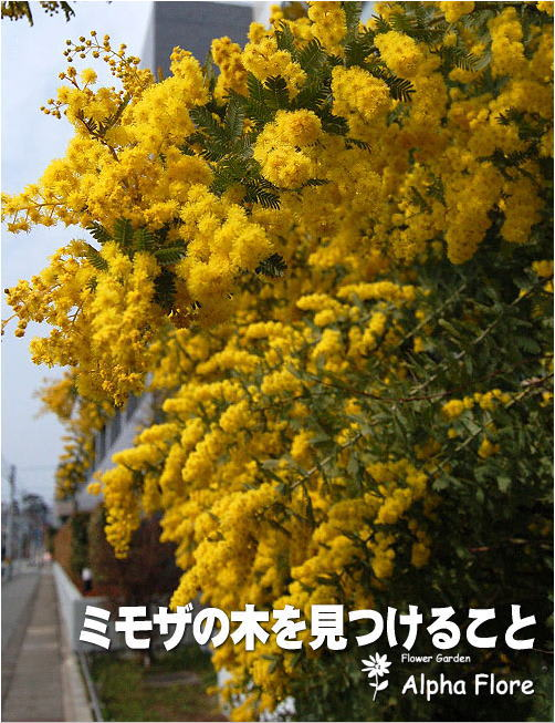 の 木 ミモザ