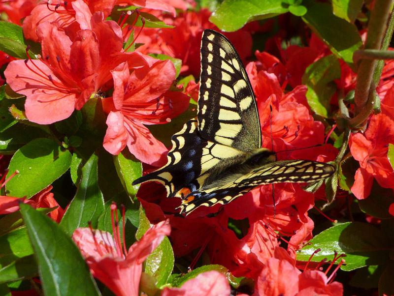 Yellowblackbutterfly