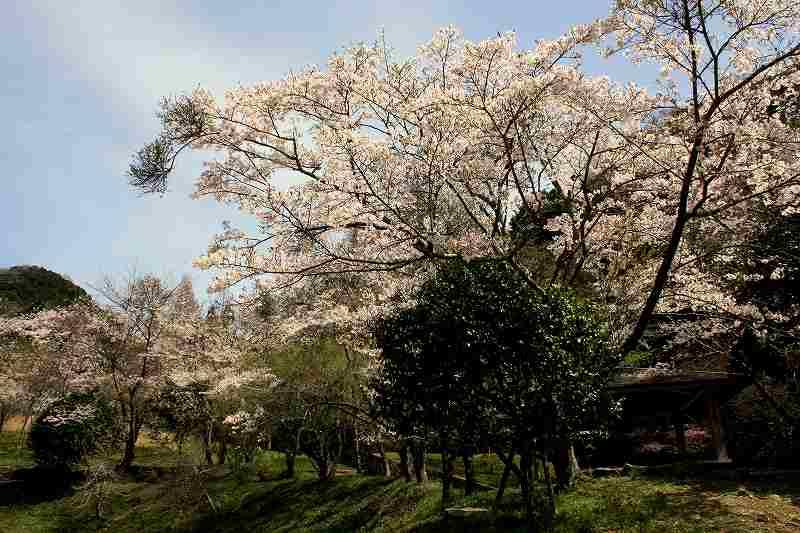 Sakura13040102_2
