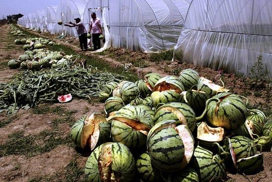 110518_watermelon_jpg