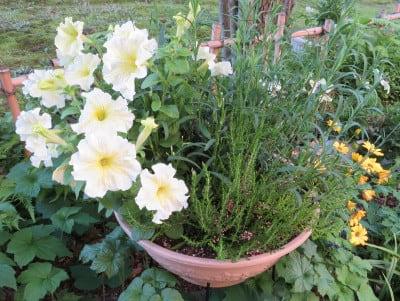 もう一つのペチュニアの寄せ植え鉢
