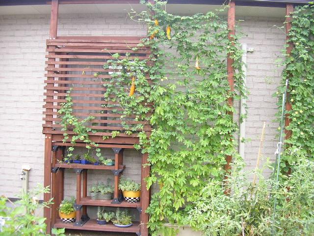 我が家の「緑のカーテン」の画像