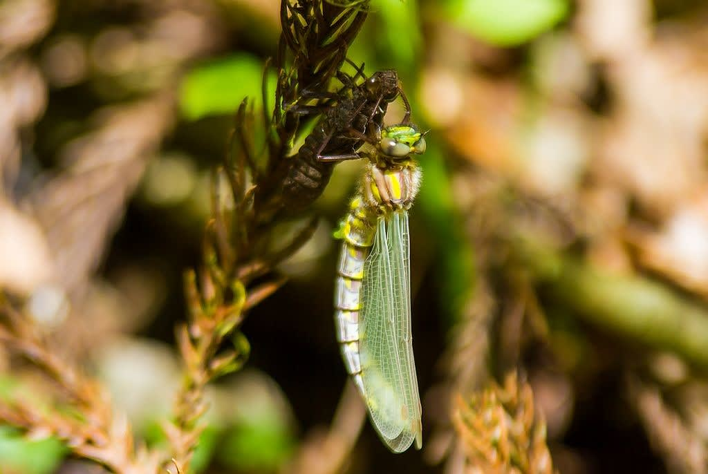 ムカシトンボの羽化の写真