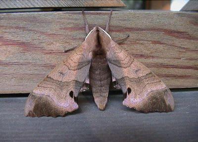 モモスズメ蛾の成虫
