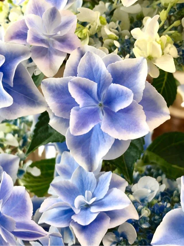 紫陽花 オニヒトデ