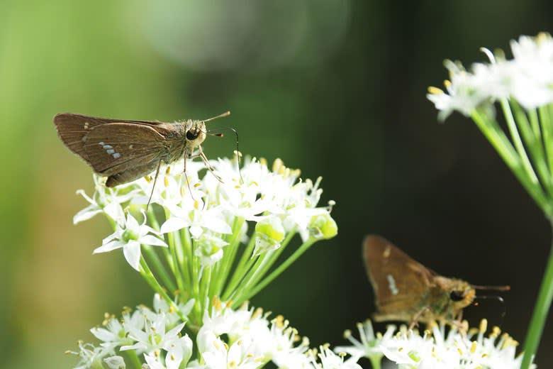 ニラの花とイチモンジセセリ