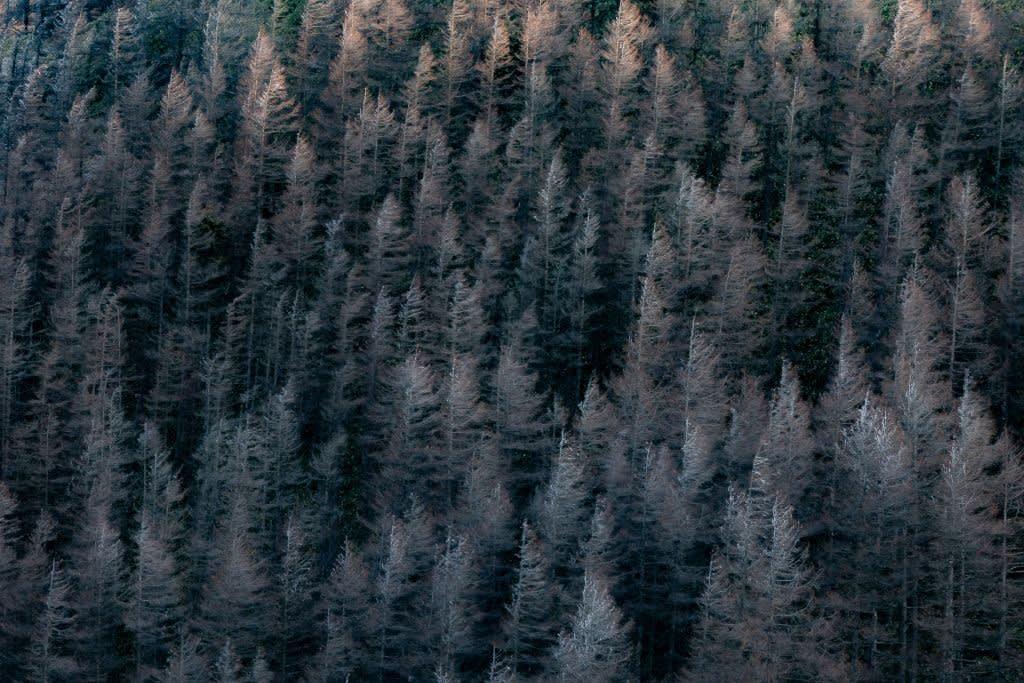 カラマツ林(初冬)の写真