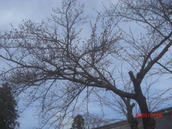 たか 桜 は は まだ 咲い かいな 梅