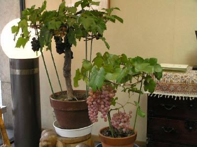 甲府風月堂店頭、ぶどうの盆栽