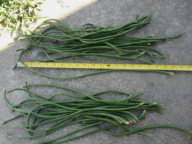十六ささげの収穫