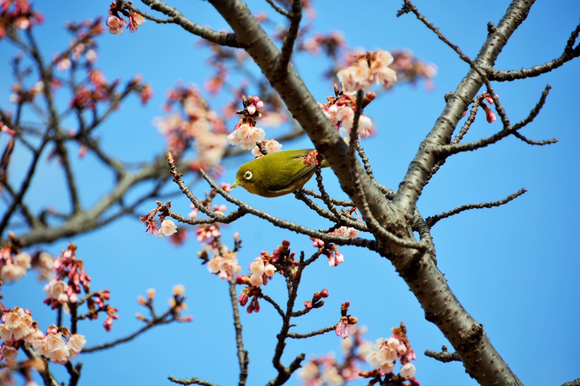 春めく・・皇居 寒桜 - 徒然なる...