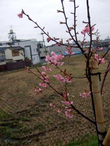 Sakurasahoup2
