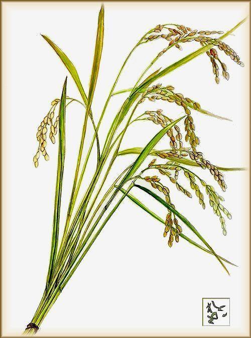 稲の穂 - Reikoのお花の絵