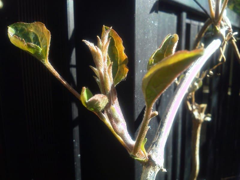 センニンソウの芽