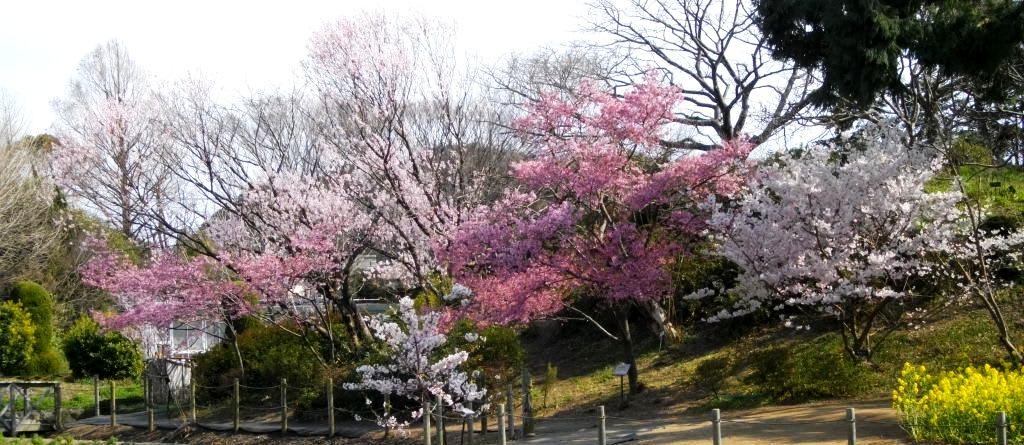 春たけなわの鎌倉:鎌倉中央公園...