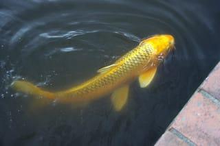 金色の鯉の夢/首つながりでバタ...