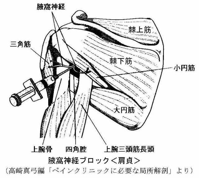 Images of 腋窩神経 - JapaneseClass.jp