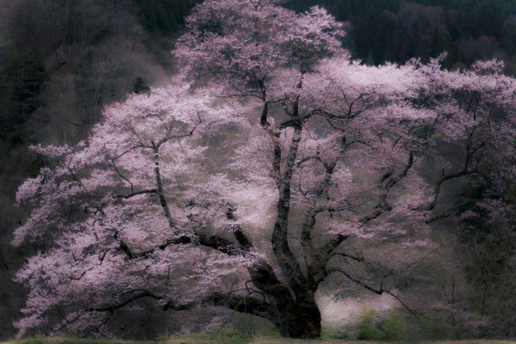駒つなぎの桜の写真