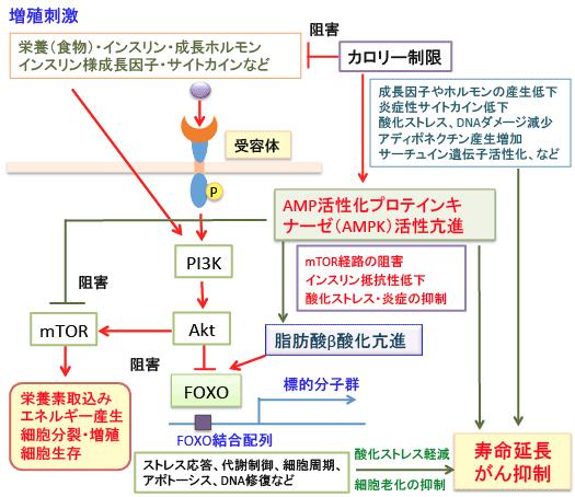 318)脂肪酸のβ酸化を亢進すると...