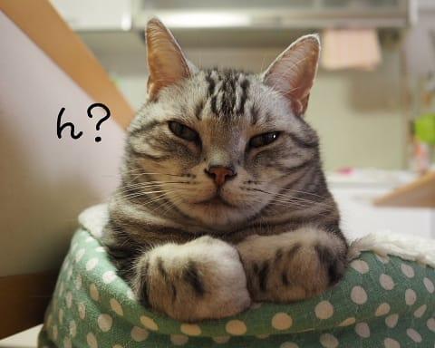 でぶアメショと愛の無い生活。 : ネコ好きなら一度は見ておき ...
