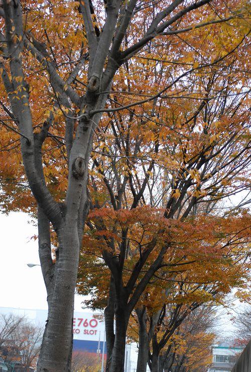 色づいたケヤキの並木