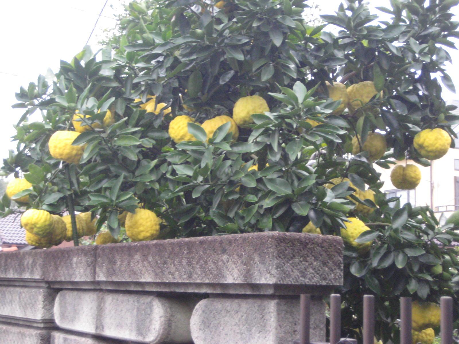 の 獅子 食べ 方 柚子