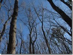 ⑥真っ青な冬空に独歩の森の梢