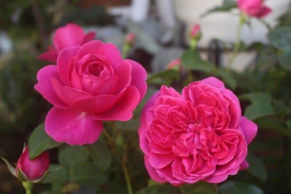ジェームズLオースチン - 薔薇と...