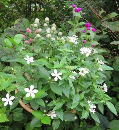 セイロンライティアの白い花