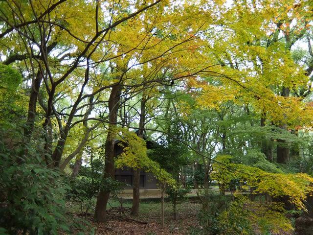 散歩道の黄葉
